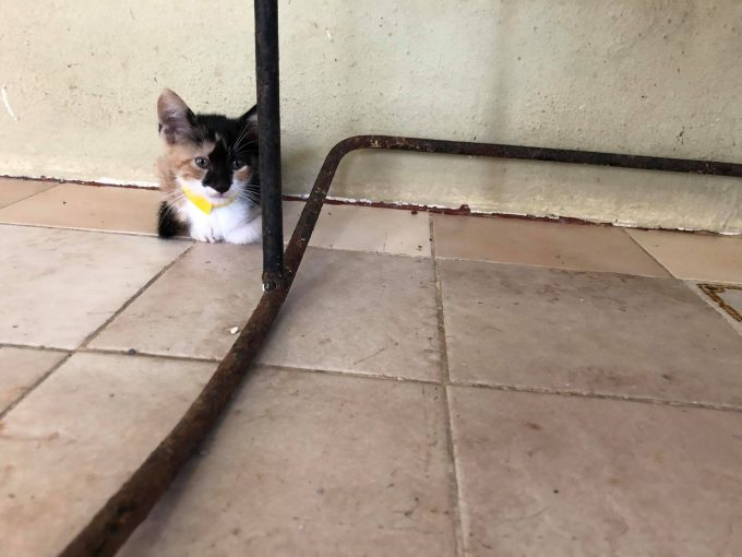A kitten at the Villa Michelle animal shelter in Mayaguez, Puerto Rico, awaits adoption at the shelter's adopt-a-thon.